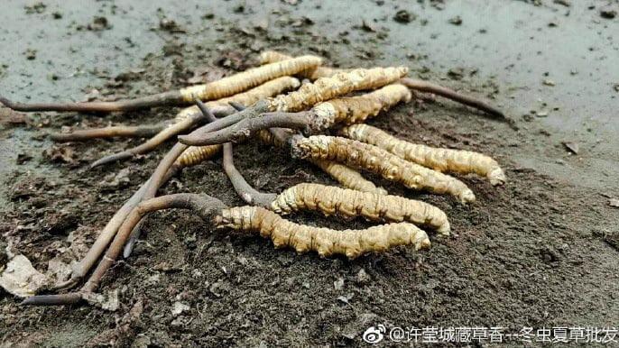 Himalayan caterpillar fungus