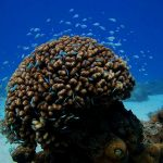 Corals transplanted from the lab to the sea successfully