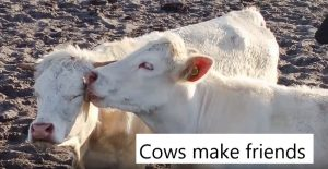 Cows make friends which creates a stronger group