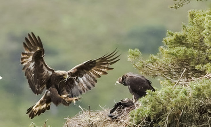 Golden eagle and nest
