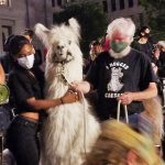 Llama Caesar's dignified presence helps slow down proceedings at protest marches