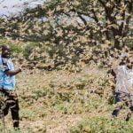 Locust swarm East Africa