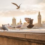 Pigeons and seagulls on the South Bank in London opposite Parliament