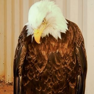 Bald eagle who hadn't eaten for 2-3 weeks survives thanks to Martin's months of care