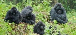 Bwindi mountain gorillas