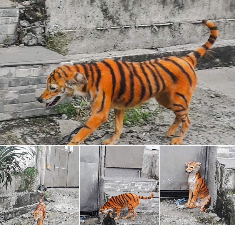 Dog painted as tiger in Malaysia
