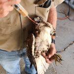 Red-tailed hawk rescued because it was starving and then released after being fed