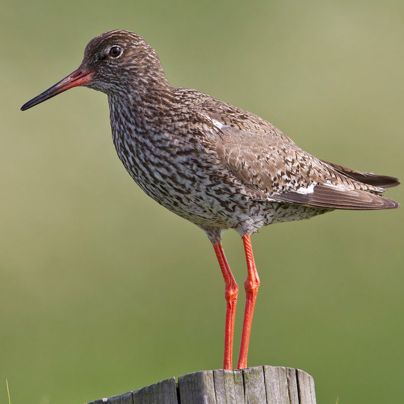 Redshank declining in parts of the Wash in England