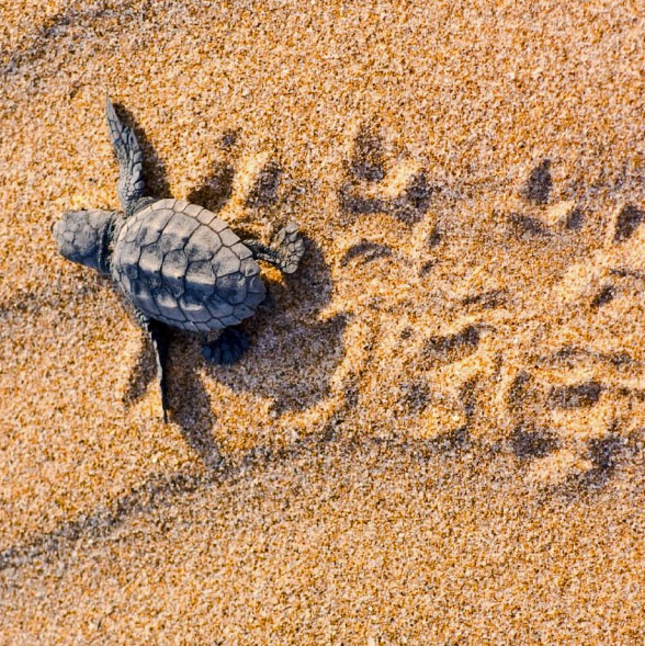 Turtle hatchling scampers across the beach to the sea