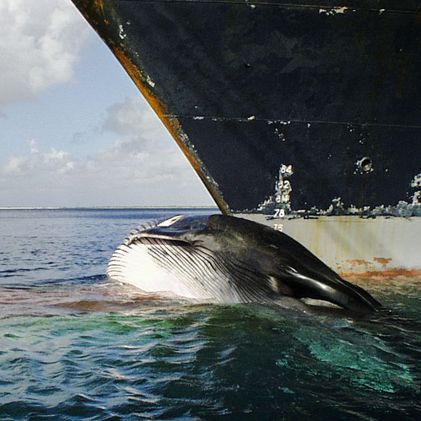 Whale hit by a ship