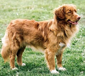 Nova Scotia Retriever