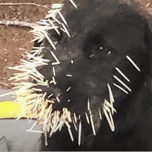Puppy covered in porcupine quills which can be life threatening