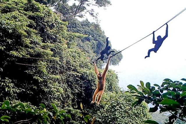Artificial arboreal highway to join up fragmented gibbon habitat