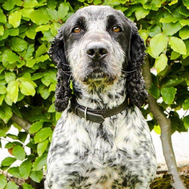 Billie a seminal fluid sniffing dog