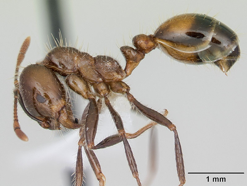Black imported fire ant