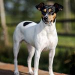Ratonero Bodeguero Andaluz (Andalusian wine-cellar rat-hunting dog)