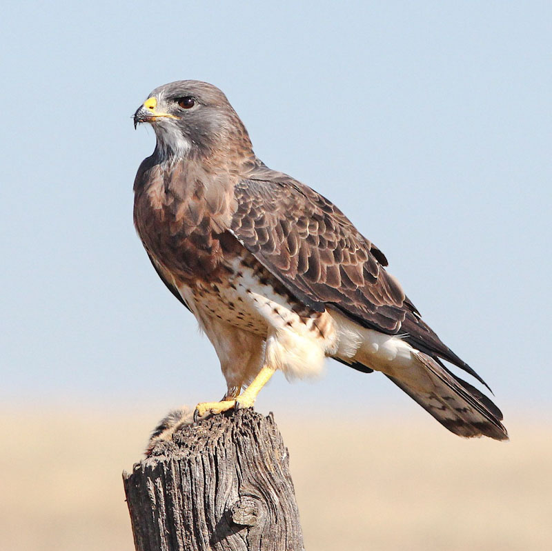 Buzzard most targeted bird of prey by criminals in the ranks of bird shooters