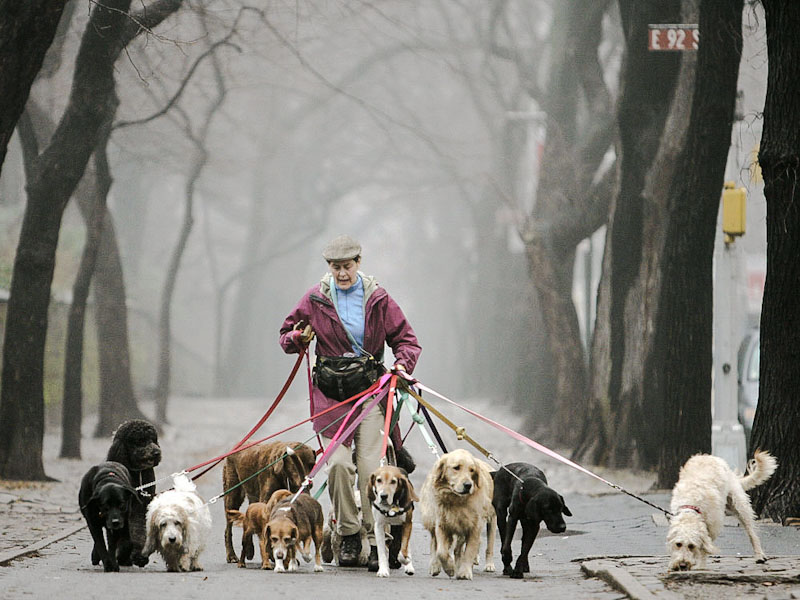 Dog walker near Central Park NYC with eleven dogs