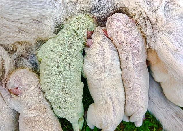 Green puppy Pistachio