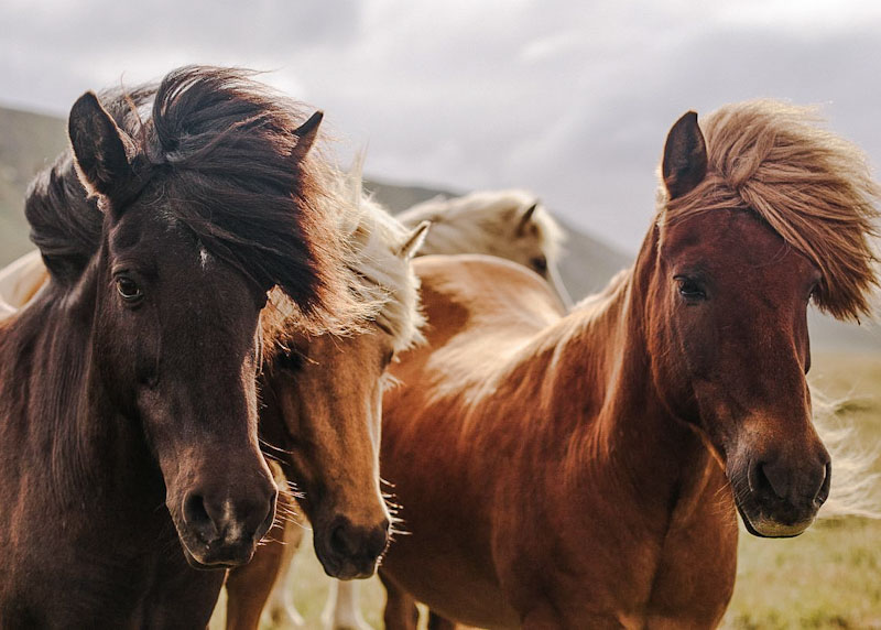 Horses with relaxed neutral ears