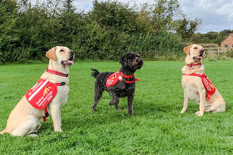 Ivan Maple and Spencer three failed blind dogs being trained to be Covid-19 detection dogs