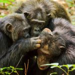 Kanyawara chimpanzee community living in Kibale National Park in Uganda