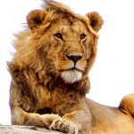 Male lion resting on a rock