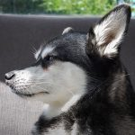 Cost of owning Alaskan Klee Kai: How much does a Mini Husky cost per month?