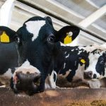 More cows in sheds results in more slurry contamination of rivers