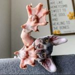 Picture of hairless domestic cat showing webbed feet