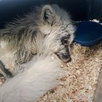 Rescued Arctic fox