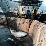 Tuna rescued from fish farm