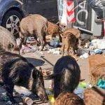 Wild boar Rome