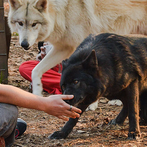 Wolves and wolfdogs as pets