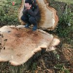 300-year-old-oak cut down for HS2