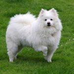 American Eskimo dog - a spitz-type dog