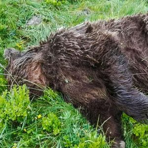 Bear shot dead in Pyrenees, a crime