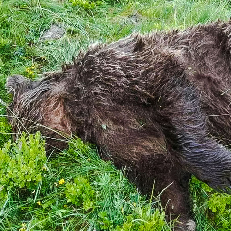 Bear shot dead in Pyrenees, a crime