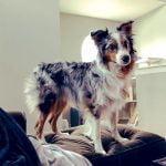 Beautiful Australian Shepherd dog