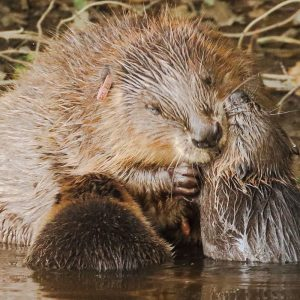 Beavers build first dam on Exmoor in 400 years