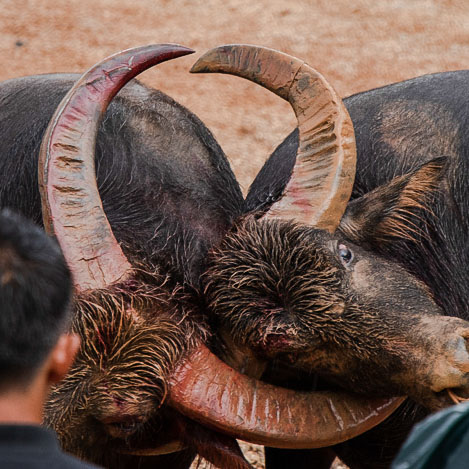 Chinese bullfighting among the Yi people in the southwest of China
