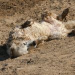 Golden retriever rolling around in sandy, muddy earth