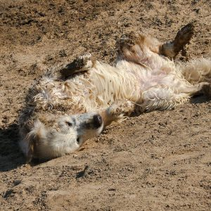 Golden retriever rolling around in sandy, muddy earth