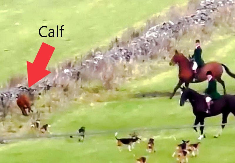 Hounds chase calf
