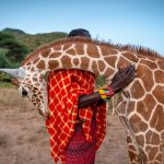 Orphaned giraffe finds solace by cuddling up to Sarara Camp wildlife keeper Lekupania