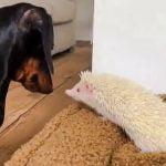 Sausage dog with albino hedgehog