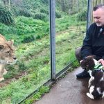 Springer spaniel, Indy, is being trained to detect bushmeat
