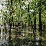 Swamp ash