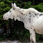 A white moose
