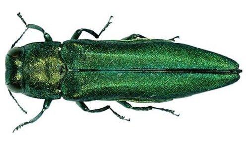 Emerald ash borer beetle